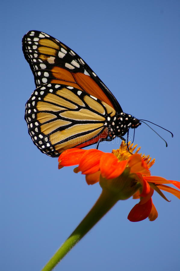 Monarch perched on an orange sunflower stock image
