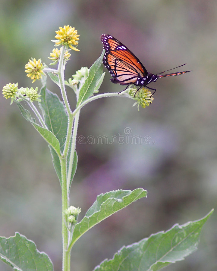 Monarch Ready for Take-off. A monarch butterfly preparing to fly royalty free stock photo
