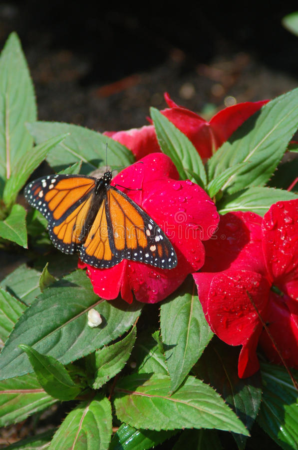 Download Monarch Red Flower stock photo. Image of flower, green - 25540160
