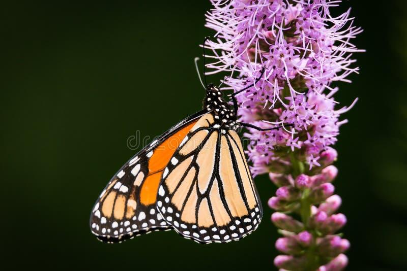 Monarch vlinder Danaus plexippus rust op een Blazing Star Liatris-bloem royalty-vrije stock afbeeldingen