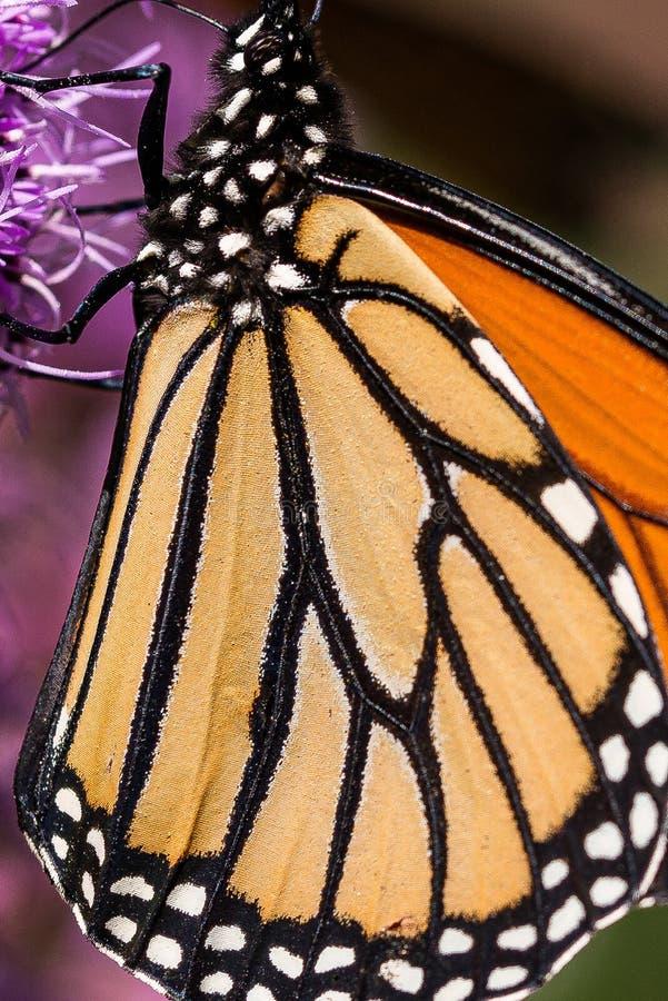 Monarch vlinder Danaus plexippus rust op een Blazing Star Liatris-bloem royalty-vrije stock foto's