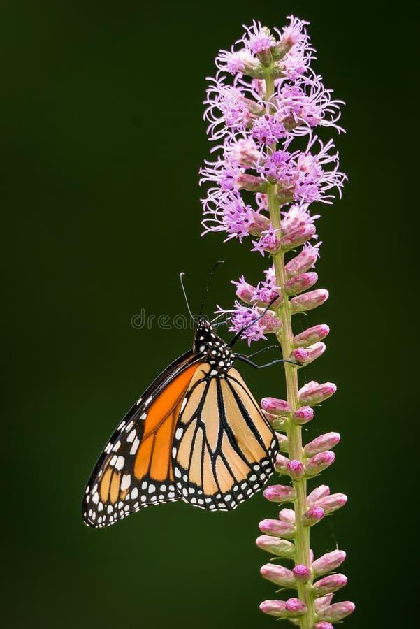 Monarch vlinder Danaus plexippus rust op een Blazing Star Liatris-bloem royalty-vrije stock fotografie