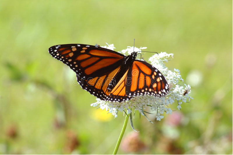 Monarch on white flower royalty free stock image