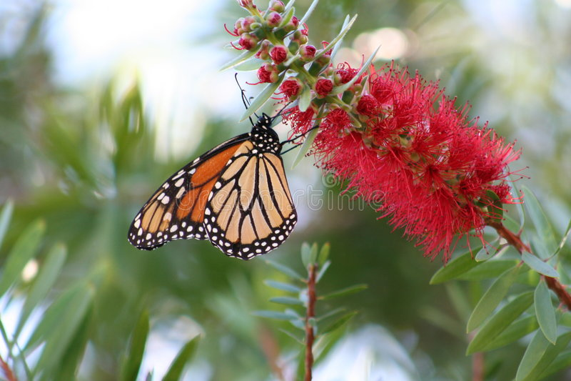 monarcha obraz stock