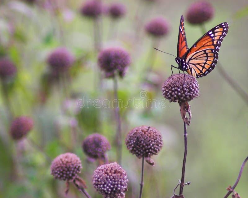 monarcha zdjęcia stock