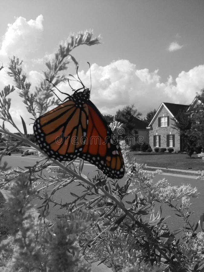 monarcha obrazy royalty free