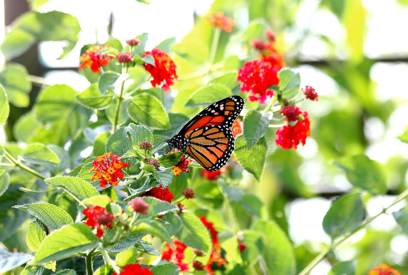 monarcha fotografia royalty free