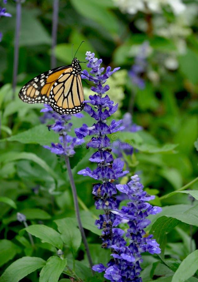 Monarcha BUtterlfy i szałwii farinacea - Danaus plexippus - obrazy royalty free