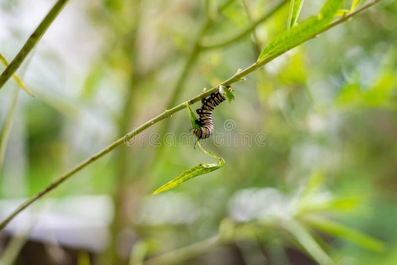 Monarcha Caterpillar na gałąź w ogródzie zdjęcie stock