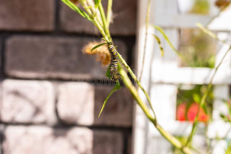 Monarcha Caterpillar na gałąź w ogródzie zdjęcia royalty free