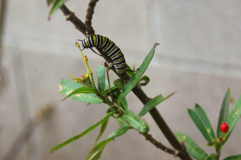 Monarcha Caterpillar na Motyliej świrzepie fotografia royalty free