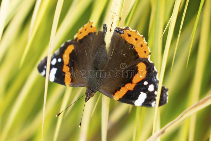 Monarcha, Danaus plexippus, motyl w natury siedlisku fotografia stock