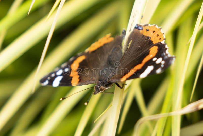 Monarcha, Danaus plexippus, motyl w natury siedlisku zdjęcia stock