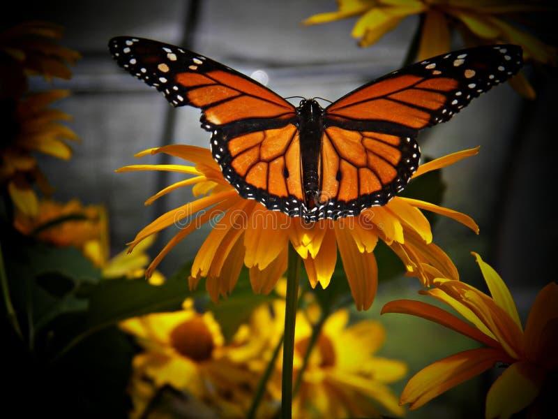 monarcha królewiątko motyle zdjęcie royalty free