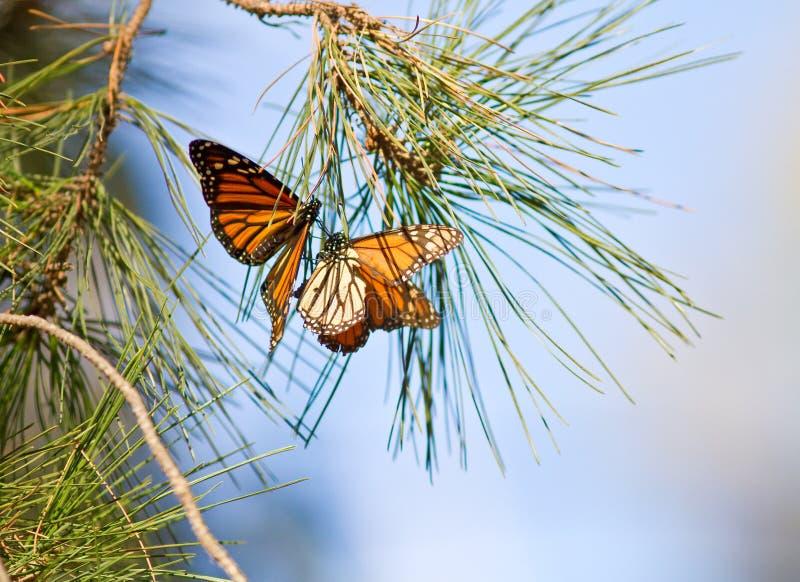 Monarcha Motyle zdjęcia stock