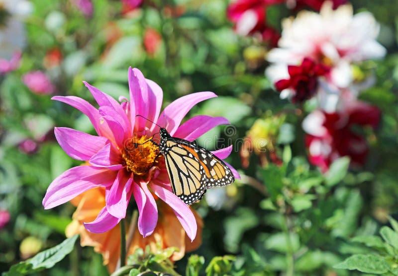 Monarcha na dalia kwiacie obraz stock
