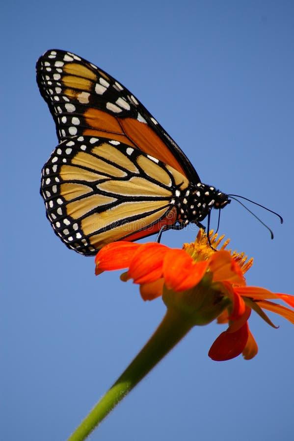 Monarcha umieszczający na pomarańczowym słoneczniku obraz stock