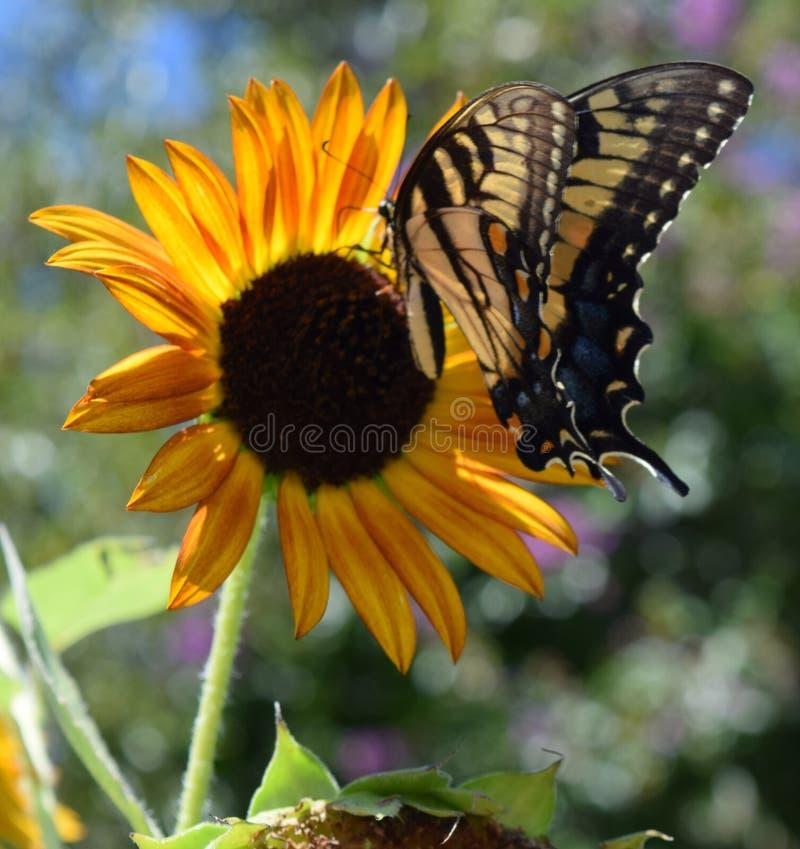 Monarchbasisrecheneinheit auf einer Sonnenblume lizenzfreies stockfoto