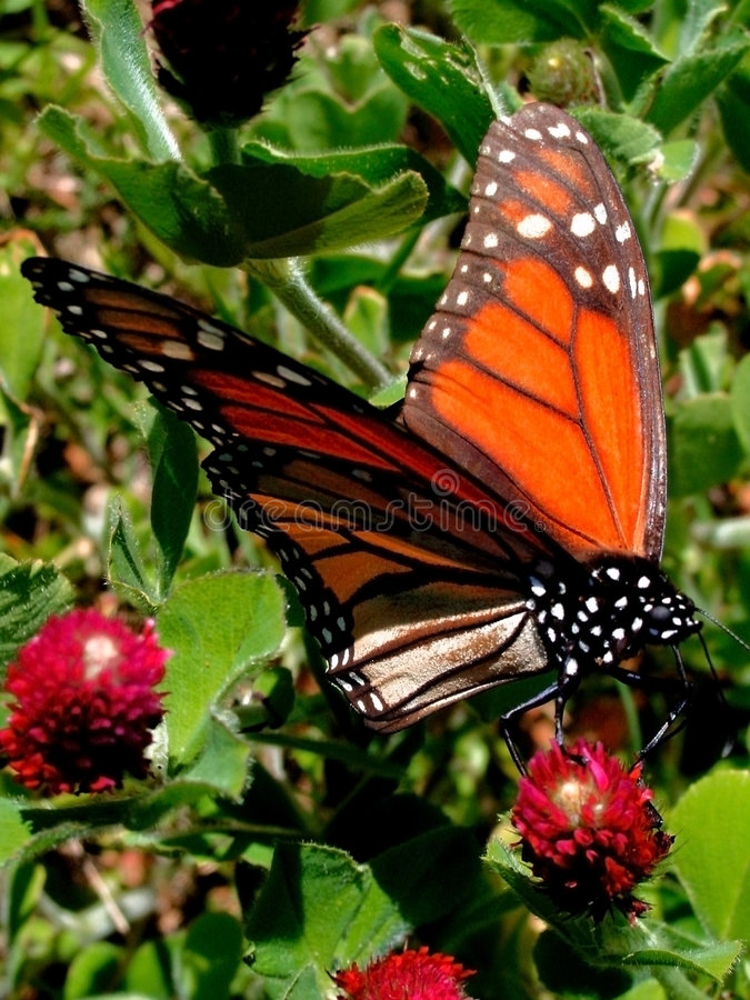 monarchbutterfly4 arkivbild