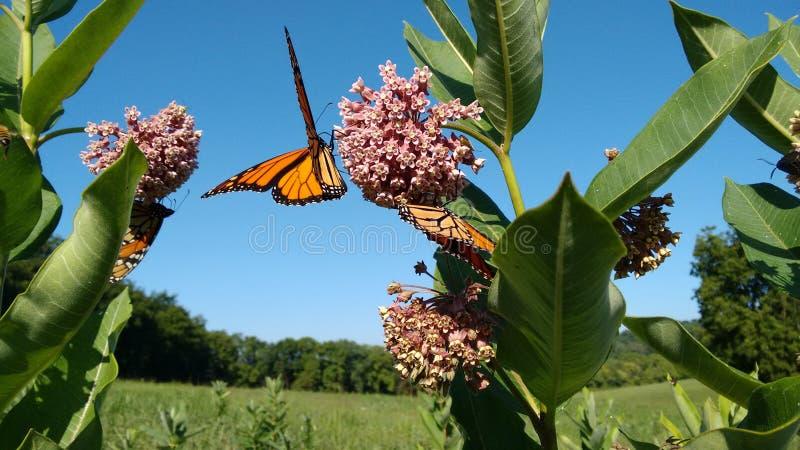 Monarchen en Milkweed stock afbeelding