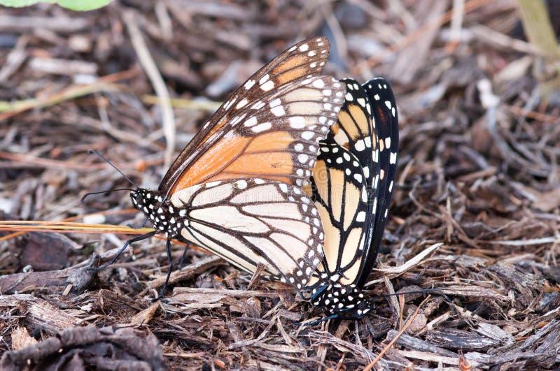 Monarchen het koppelen stock fotografie