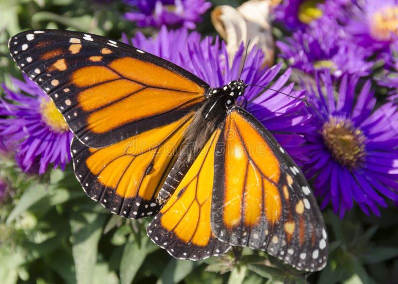 Monarchfalter auf Büschel von purpurroten Asterblumen lizenzfreie stockbilder