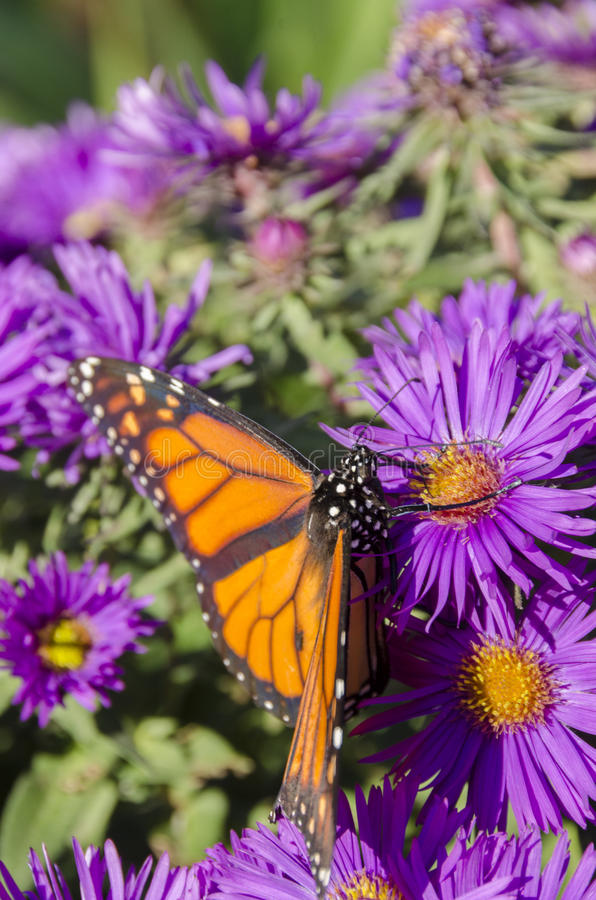 Monarchfalter auf Büschel von purpurroten Asterblumen stockfoto