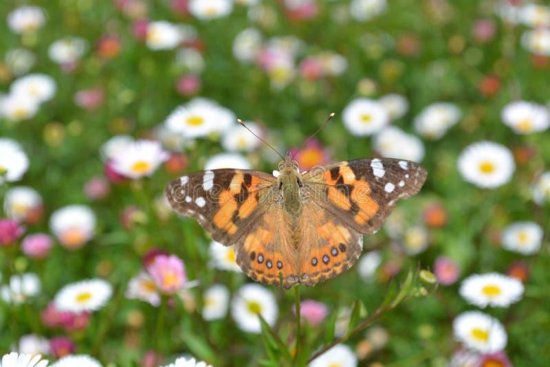 Monarchfalter auf Blumenbeet lizenzfreie stockfotografie