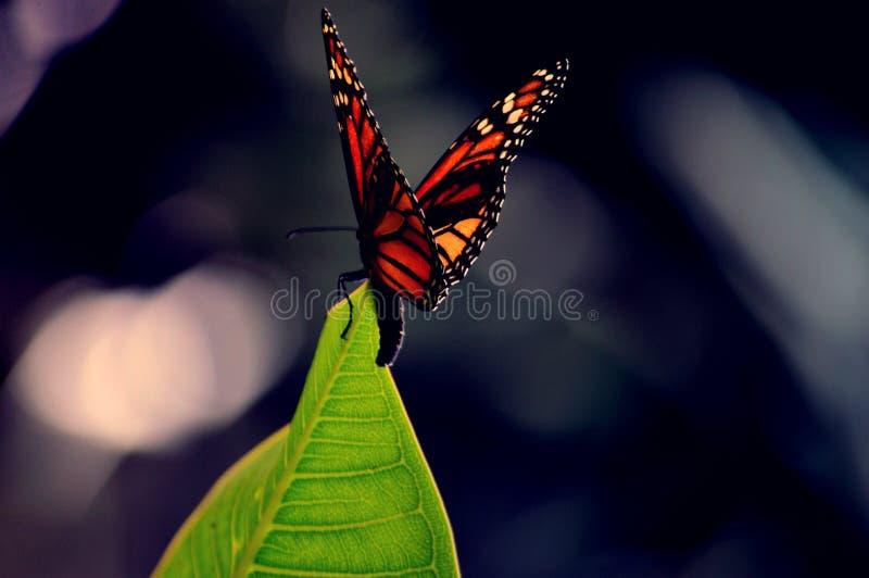 Monarchfalter auf einem Blatt stockfotografie
