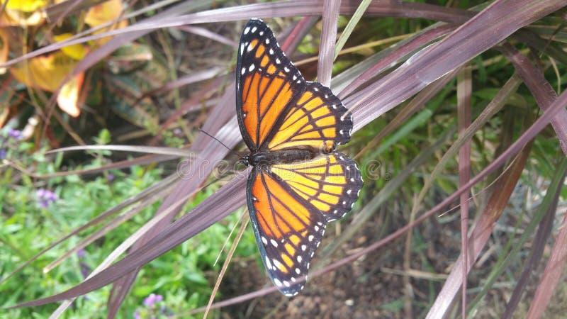 Monarchfalter auf einem Grashalm stockbild