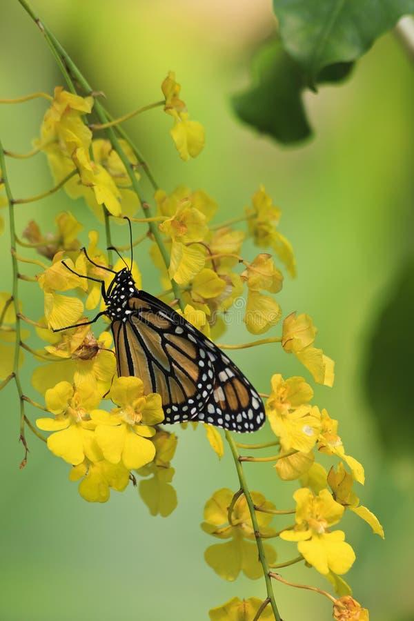 Monarchfalter auf gelben Orchideen lizenzfreie stockfotografie