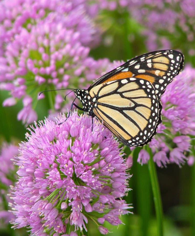 Monarchfalter auf Lauch-Blumen lizenzfreie stockfotografie