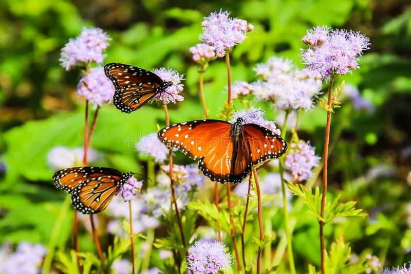 Monarchfalter auf purpurroten Blumen stockfotos