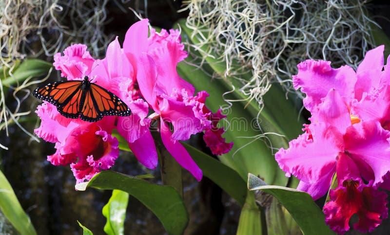 Monarchfalter auf purpurroten Orchideen lizenzfreies stockbild