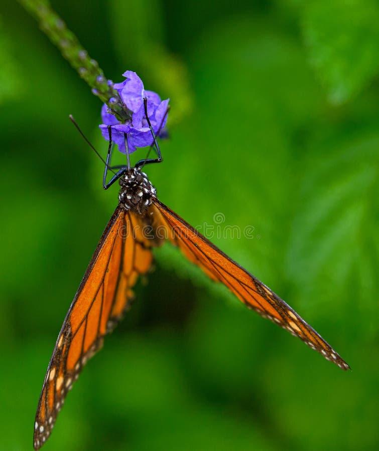 Monarchfalter auf purpurroter Porterweed-Blume in Florida lizenzfreie stockfotografie