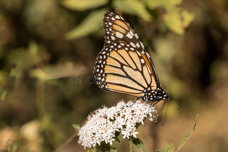Monarchfalter auf weißem Milkweed stockbilder