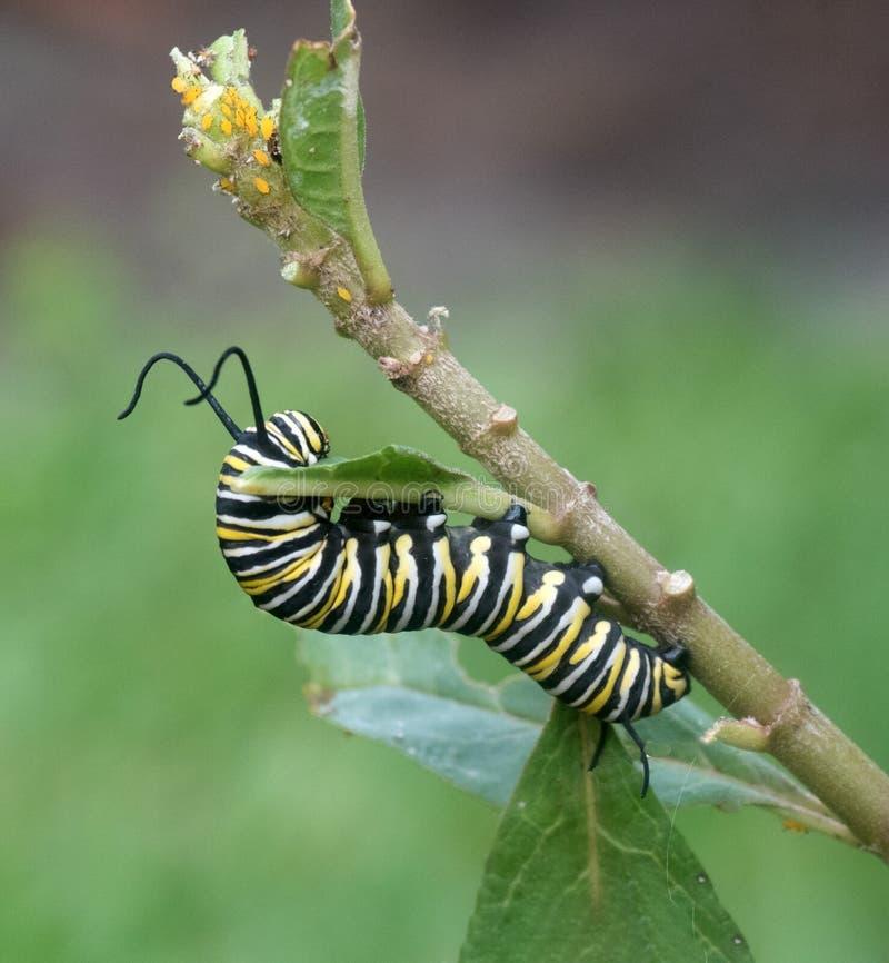 Monarchfalter Caterpillar, das Blatt isst lizenzfreies stockfoto