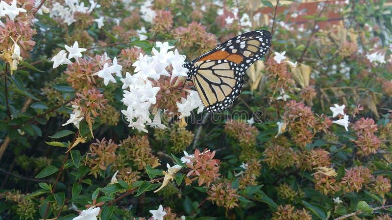 Monarchfalter, der auf Abeliablüte 8 stillsteht lizenzfreie stockfotos
