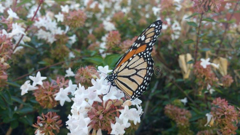 Monarchfalter, der auf Abeliablüte 4 stillsteht lizenzfreies stockbild