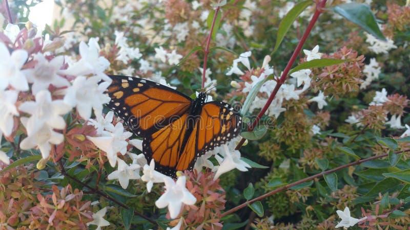 Monarchfalter, der auf Abeliabuschblüte stillsteht lizenzfreies stockbild
