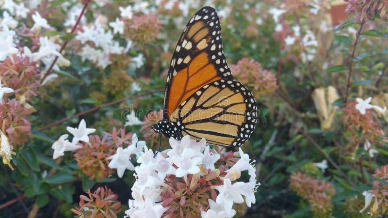 Monarchfalter, der auf Abeliabuschblüte 1 stillsteht lizenzfreie stockfotos