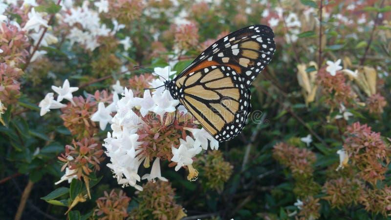 Monarchfalter, der auf Abeliabuschblüte 2 stillsteht lizenzfreies stockbild