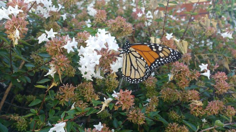 Monarchfalter, der auf Abeliabuschblüte 6 stillsteht stockfotografie