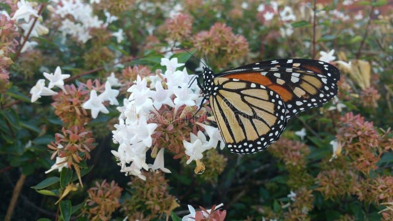 Monarchfalter, der auf Abeliabuschblüte 3 stillsteht stockfotografie