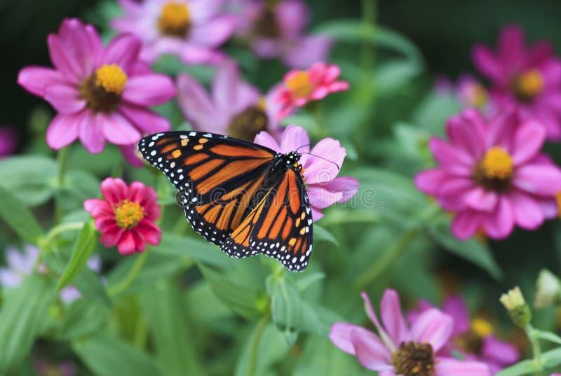 Monarchfalter, der auf Sommer Zinnias einzieht stockbild