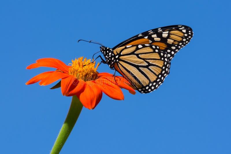 Monarchfalter, der auf Zinnia-Blume einzieht stockfoto