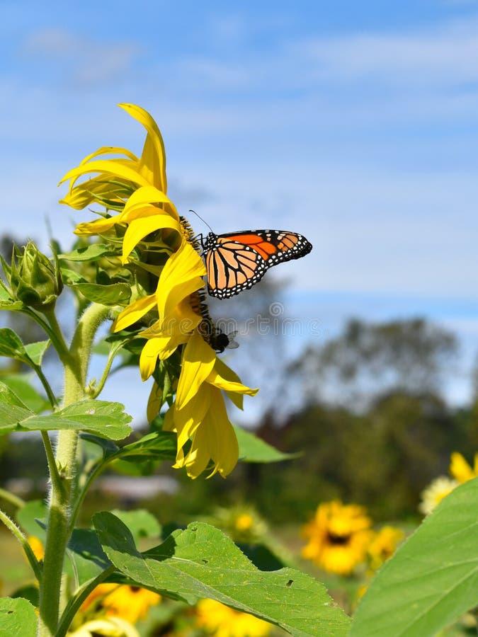 Monarchfalter in der gelben Sonnenblume am Falltag in Littleton, Massachusetts, Middlesex County, Vereinigte Staaten Neu-England  lizenzfreie stockfotografie