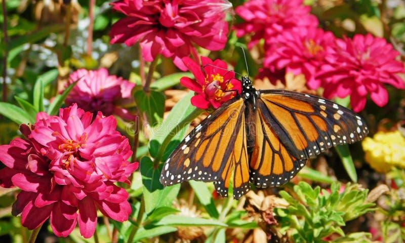 Monarchfalter in einem Garten stockfotos