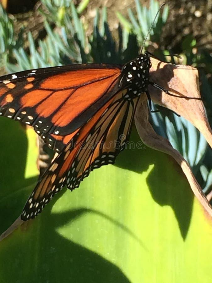 Monarchfalter-Kalifornien-Insektenmakro lizenzfreies stockbild