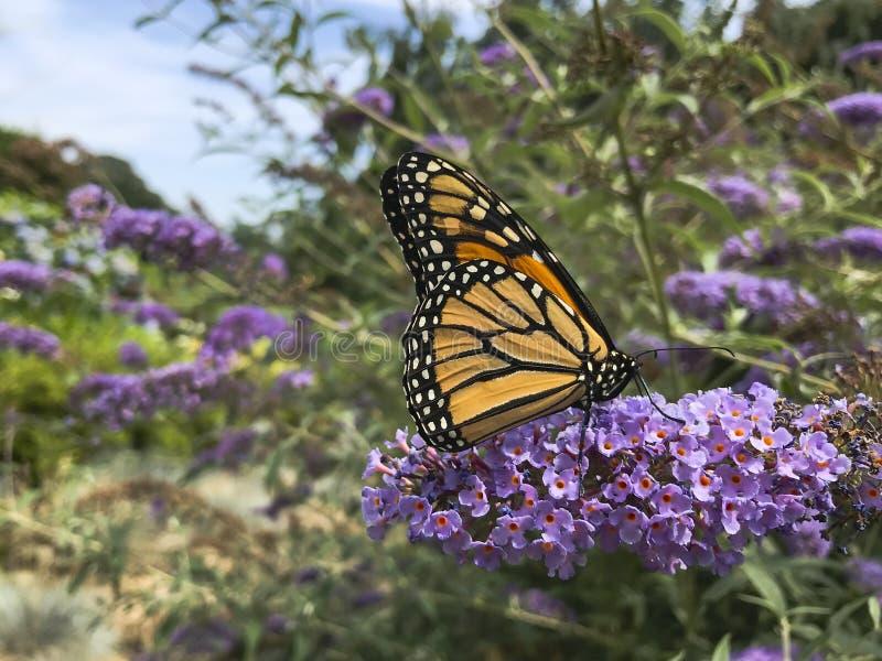 Monarchfalter mit Proboscis in der Blume lizenzfreie stockfotos